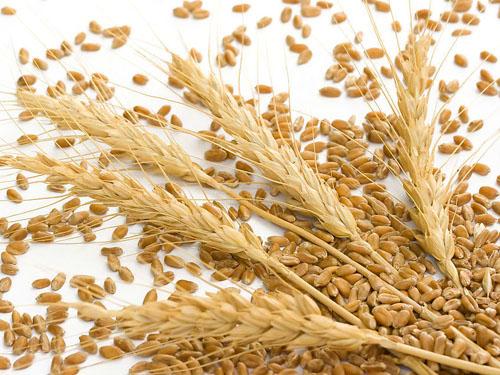 小麦芹菜等一年五作栽培技术