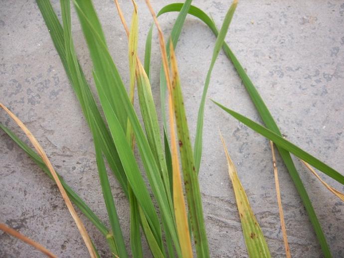 水稻黄叶是什么情况(生态农业)