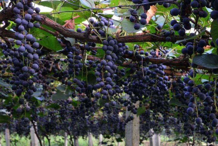 (生态农业)防止葡萄落花落果的方法