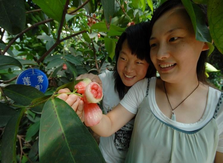 南果北种 多种热带水果在澳吉尔绿博园试栽成功 游客体验采摘乐趣