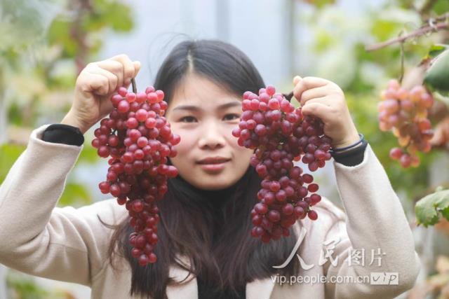 澳吉尔新品葡萄喜获丰收